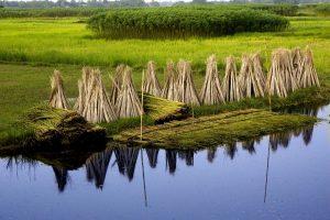 bangladesh, jute, village